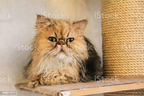 Cute golden persian cat picture id485627572?b=1&k=6&m=485627572&s=612x612&h=suksnwsmyflt1dyf8vzu0ktjwp2wazz06cbx9cojc4w=