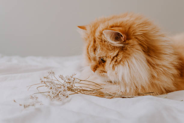 Cute golden persian cat playing with some dried flowers on the bed. Cozy photo of a persian cat. Animal friendly concept. stock photo