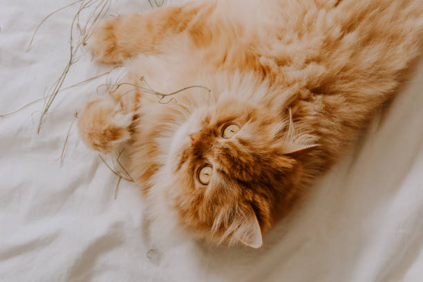 Cute golden persian cat relaxed on the bed and playing with some dried flowers. Animal friendly concept. Top View. stock photo