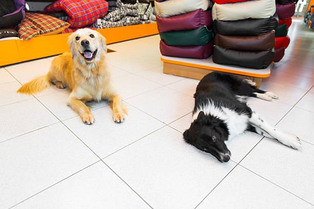 niedlich golden apportierhund und border-collie in eine haustierhandlung - hundeleinen halter stock-fotos und bilder
