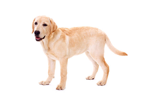 A cute golden retriever dog on a white background yellow labrador retriever standing and looking at camera, isolated on white background labrador retriever stock pictures, royalty-free photos & images