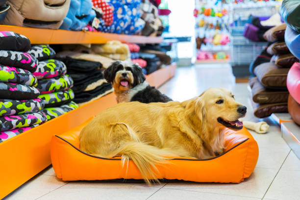 Cute golden retriever in a pet shop...resting in pet bed stock photo