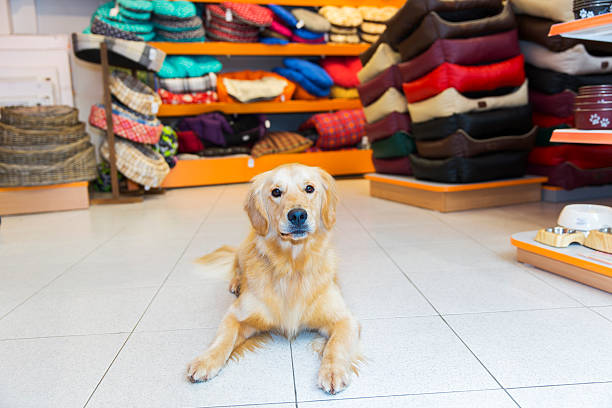 niedlich golden apportierhund in haustier shop - hundeleinen halter stock-fotos und bilder