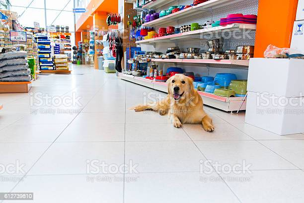 Cute golden retriever in pet store picture id612739810?b=1&k=6&m=612739810&s=612x612&h=hnaq6 zer3k20lgonw68t2ohxqgafpjkimgty8lnbus=
