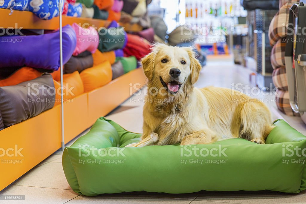 Cute Golden retriever in pet store resting royalty-free stock photo