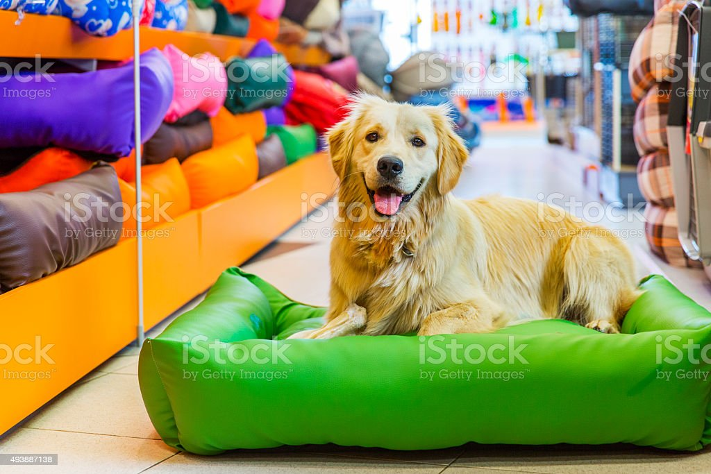 Mignon Golden retriever dans Magasin animalier de repos - Photo