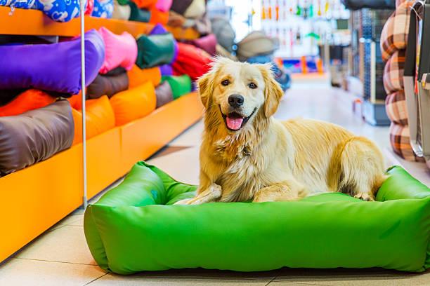 süße golden retriever hund ruhen im store - katzen kissen stock-fotos und bilder