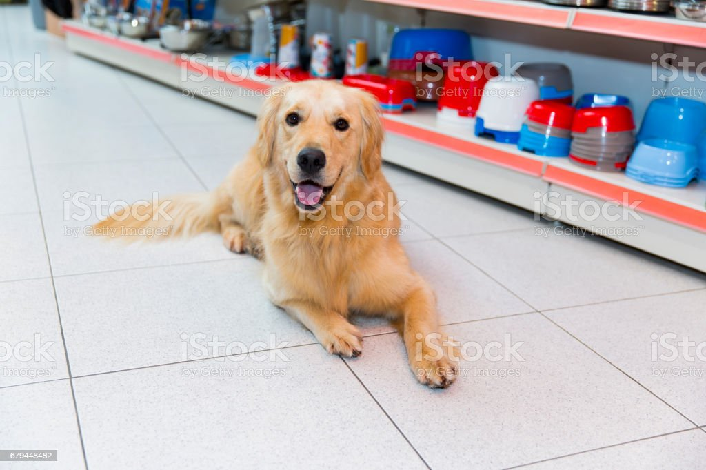 Cute Golden Retriever in pet store resting,rack of dog bowls behind him stock photo