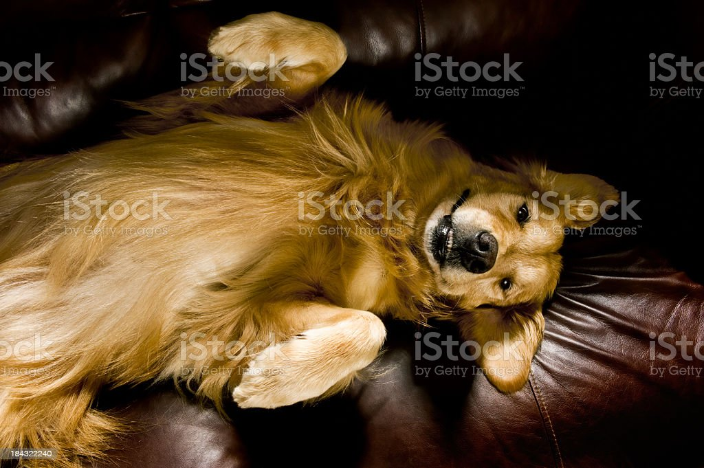 A cute golden retriever on a brown couch royalty-free stock photo