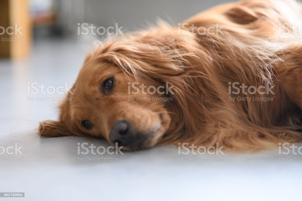 Cute golden retriever on the ground stock photo