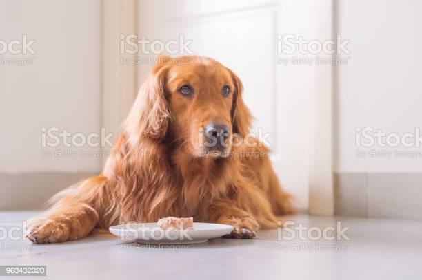 Ładny Golden Retriever Na Ziemi - zdjęcia stockowe i więcej obrazów Jedzenie