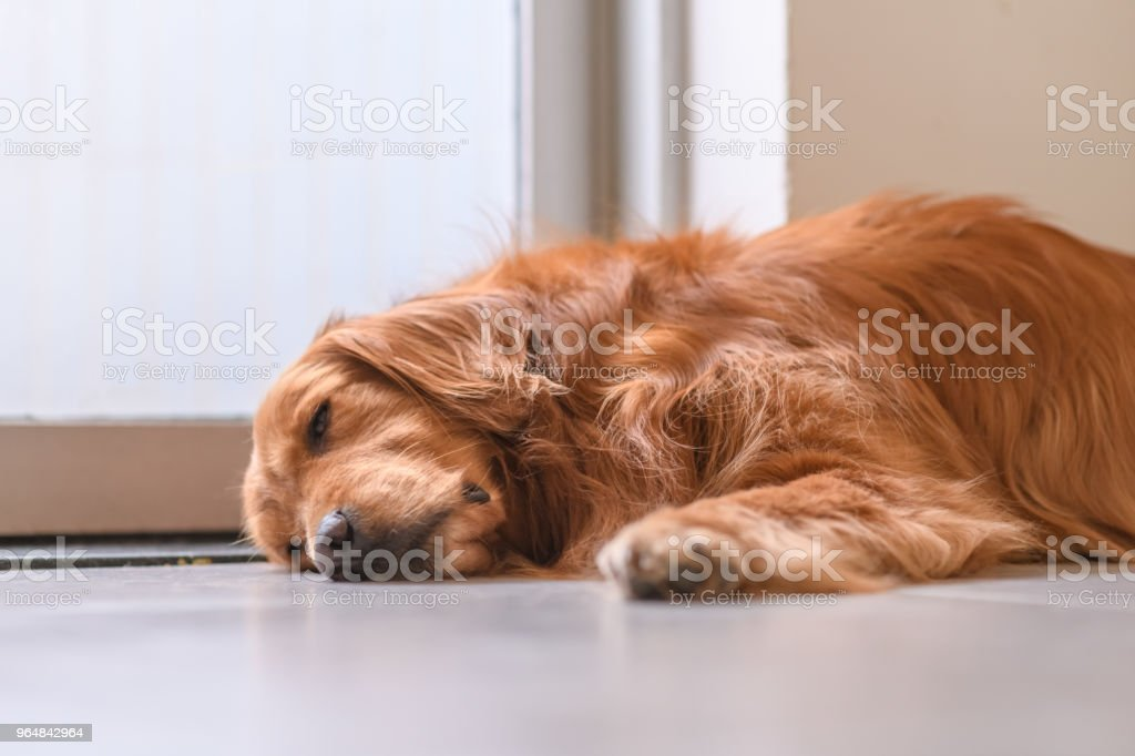 Cute golden retriever on the ground royalty-free stock photo
