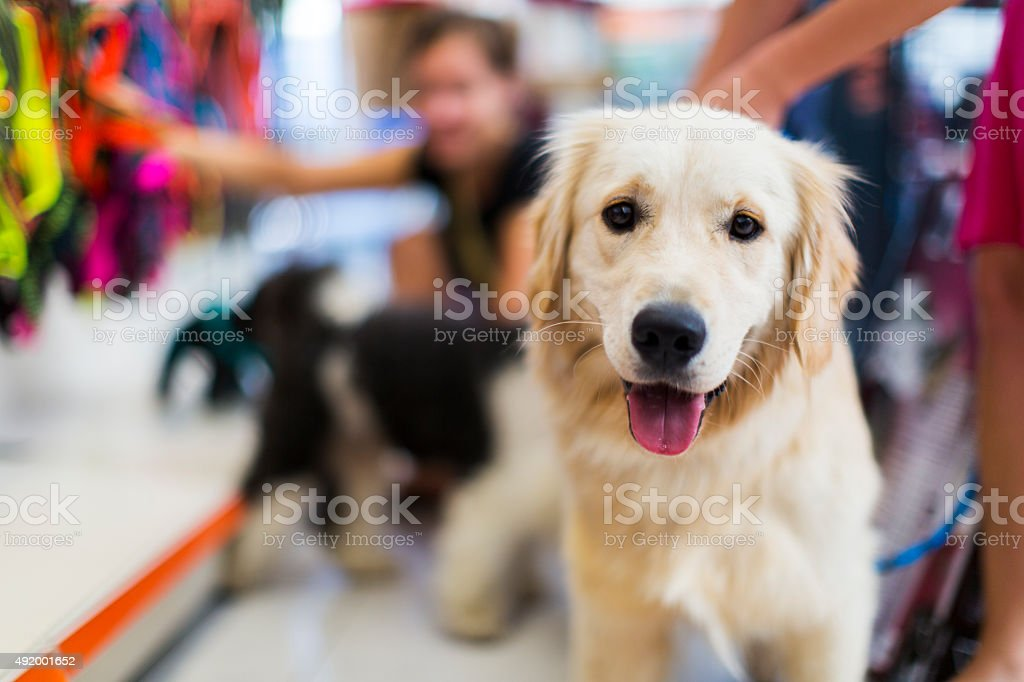 Cute Golden retriever pet store Cute Golden retriever in a pet store...Tibetan Terrier and her owner in the back buying pet collar 2015 Stock Photo