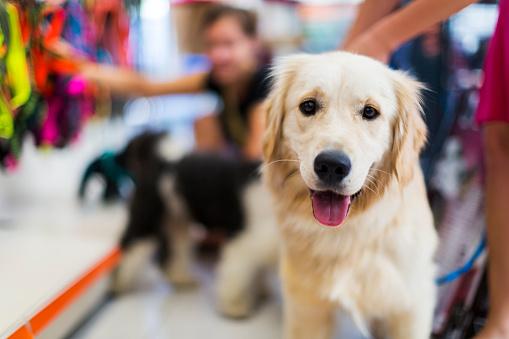 Cute Golden Retriever Pet Store Stock Photo - Download Image Now