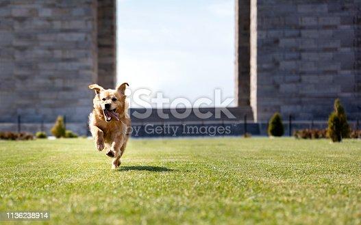 Cute Golden Retriever Running to Camera