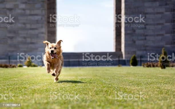 Cute golden retriever running to camera picture id1136238914?b=1&k=6&m=1136238914&s=612x612&h=drqasyrmgyqa 0i8c32a1chrih5kicuyzwq hhvg43w=