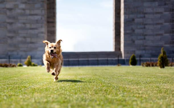 Niedlicher Golden Retriever läuft auf Kamera – Foto