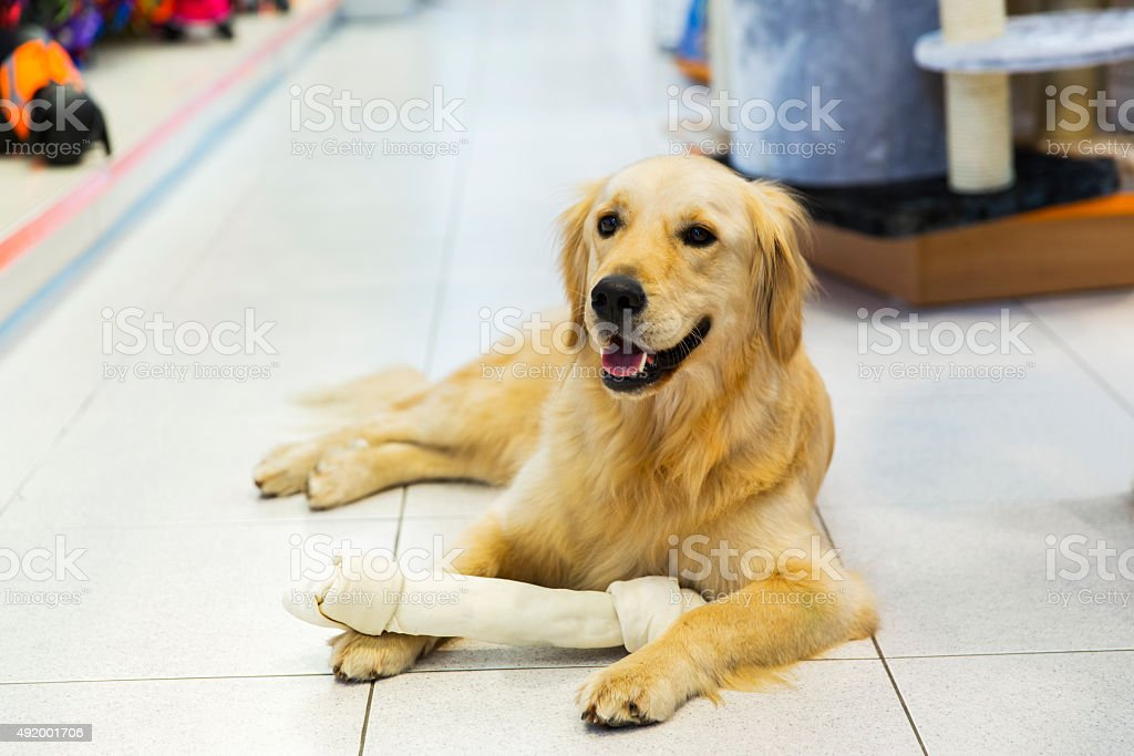 Simple Golden Retriever Canine Adorable Dog - cute-golden-retriever-with-big-dog-bone-in-pet-store-picture-id492001706  Best Photo Reference_598687  .com/photos/cute-golden-retriever-with-big-dog-bone-in-pet-store-picture-id492001706