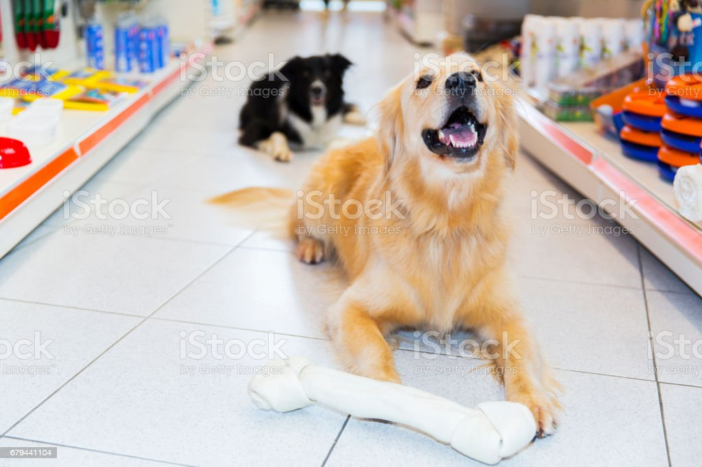 Cute Golden Retriever with big pet bone in pet store...Border Collie behind him,lying stock photo