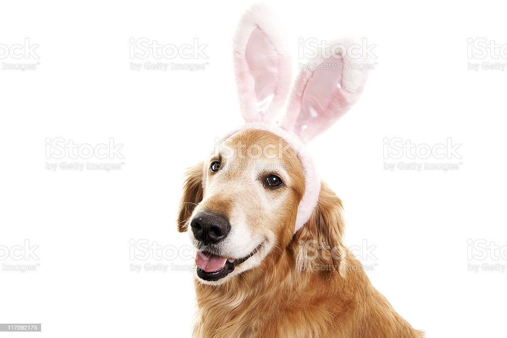 Cute Golden Retriever with Bunny Ears stock photo
