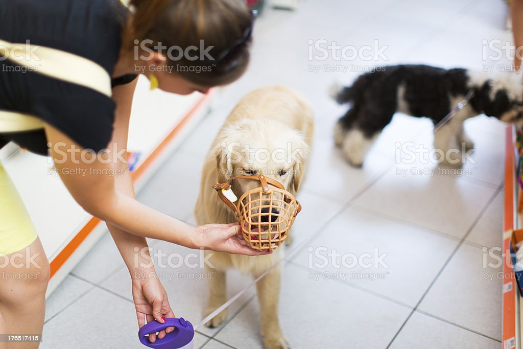 Cute Golden retriever with muzzle in pet store royalty-free stock photo
