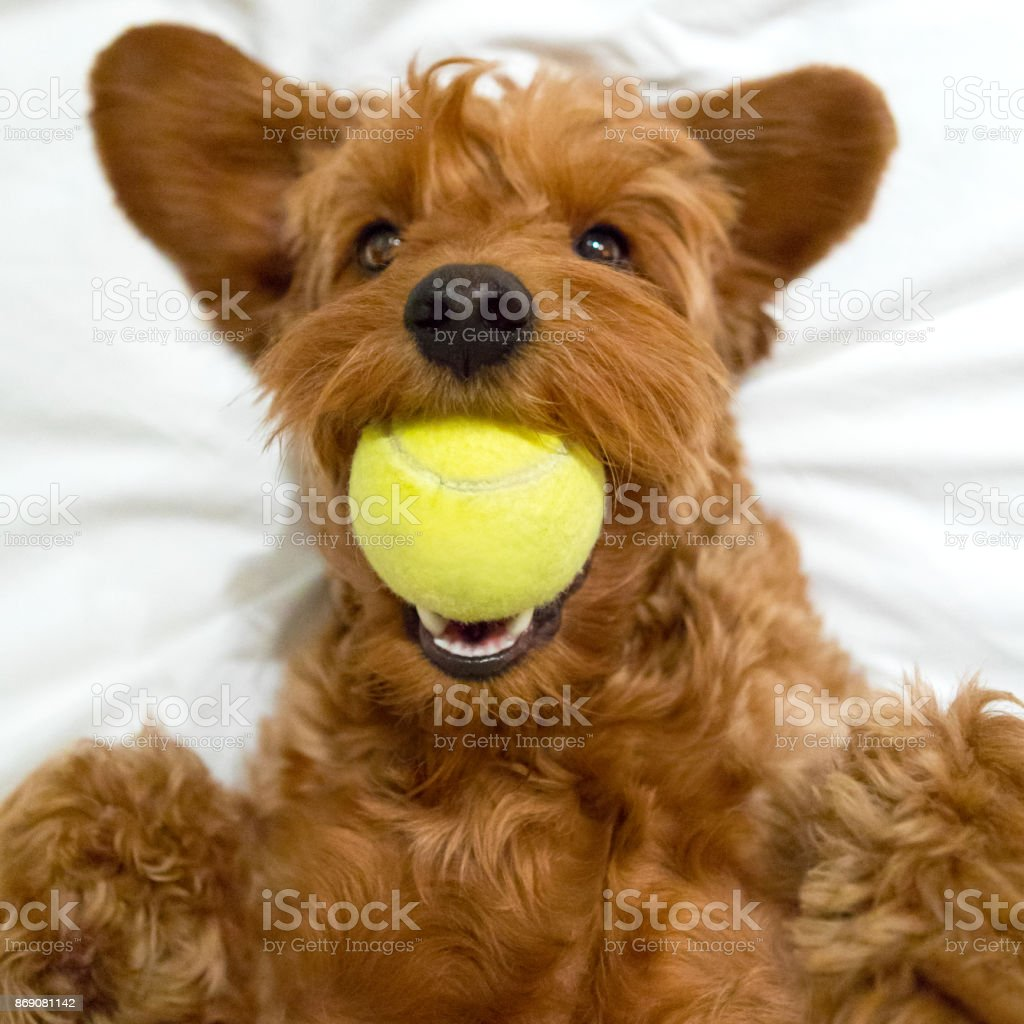 Cute Goldendoodle Puppy With Ball Stock Photo Download