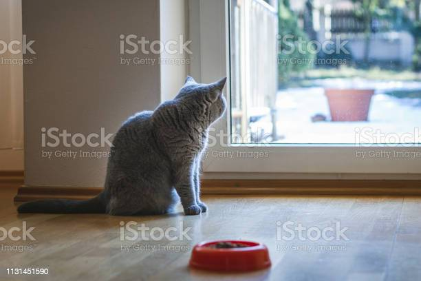 Cute gray british shorthair cat is looking through window picture id1131451590?b=1&k=6&m=1131451590&s=612x612&h=ercxfgqro5qz1c8pqdllpv lgelhmomo jf1jmqsswy=