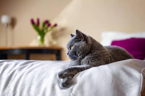 lindo gris británico gato de pelo corto acostado en la cama en el interior de la casa - couch potato refrán en inglés fotografías e imágenes de stock
