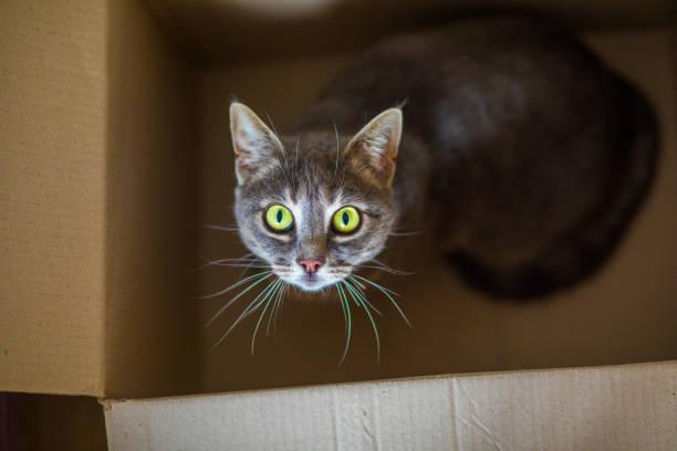 Cute gray cat in a cardboard box. stock photo