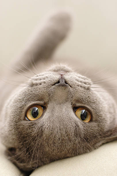 Cute gray cat laying upside down with face looking ahead picture id108125427?b=1&k=6&m=108125427&s=612x612&w=0&h=1ortcrsmn8q4wud6zyw2khibai68nunb9agsp08yk8s=