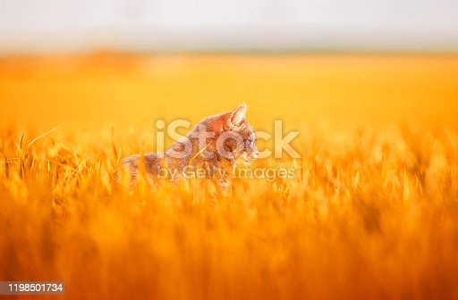portrait of a cute gray cat sitting among Golden ears of wheat on a farm field on a summer Sunny day