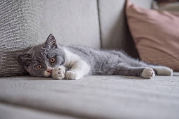 Cute gray kitten indoor shot picture id878937862?b=1&k=6&m=878937862&s=612x612&w=0&h=v1ij9y 9p1ojzajuzz11ngccml0xujlie688doa7iba=