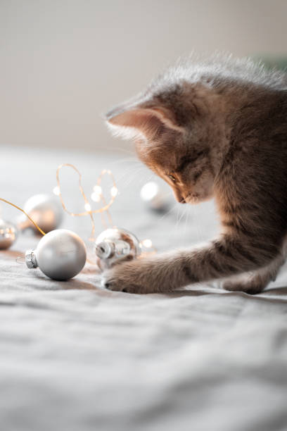 Cute gray kitten playing with christmas toys on a bokeh background picture id1049029170?b=1&k=6&m=1049029170&s=612x612&w=0&h=qqvok eslawk35eru0w7nz7rcgqghyutfsqtazzb8u4=