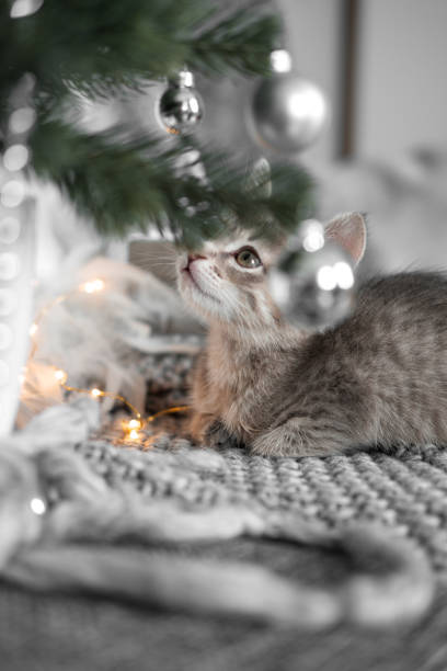 Cute gray kitten playing with christmas toys on the christmas tree picture id1049016798?b=1&k=6&m=1049016798&s=612x612&w=0&h=olcjv3qgvuo0eovktslow3hhvfkpmuxkig9u0rnf7q8=