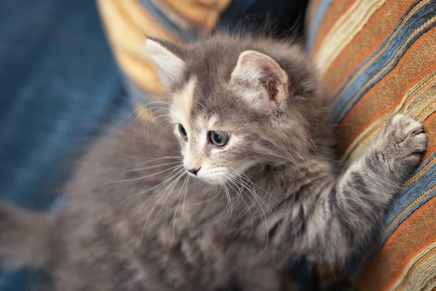 Nettes graues Kätzchen kratzt ein Sofakissen und schaut zurück auf den Besitzer, der ihn schimpft – Foto