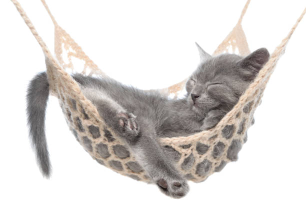 Cute gray kitten sleeping in hammock isolated picture id853692986?b=1&k=6&m=853692986&s=612x612&w=0&h=rjzv9 di2udh2ad50fxqh mr80ivsicnfsxcdekzy m=
