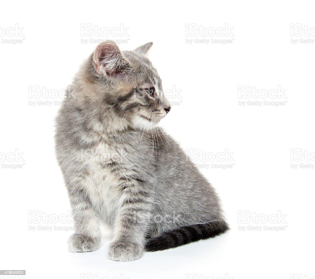 Cute gray tabby kitten on white stock photo