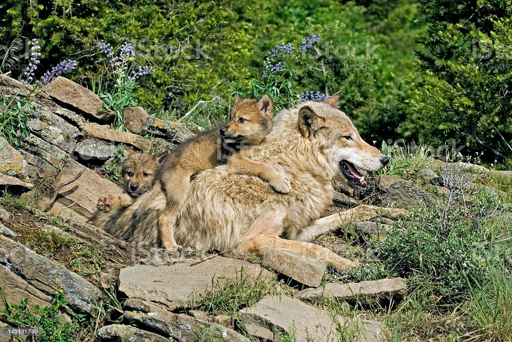 A cute gray wolf and cute gray Cubs stock photo