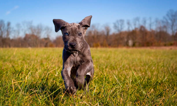 A cute great Dane puppy runs towards viewer playfully stock photo