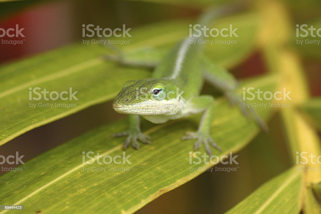 Cute green Anole lizard royalty-free stock photo