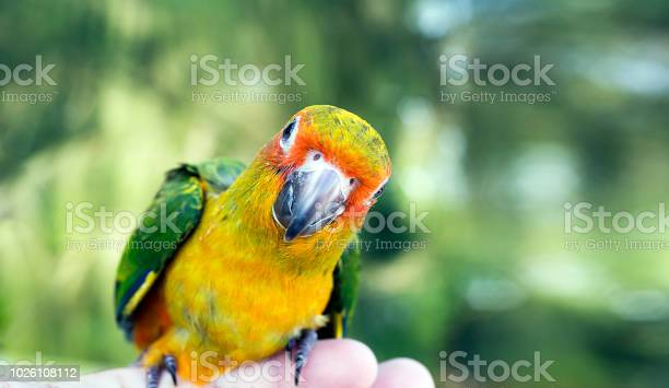 Cute green bird on finger parrot on the finger parrot sun conure on picture id1026108112?b=1&k=6&m=1026108112&s=612x612&h=rh55jsth6stwx2trahkahzcoo4pt54tpefcz5fvxfbg=