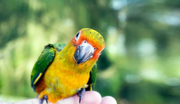 lindo pájaro verde en el dedo, loro en el dedo, loro sol conure en mano. alimentación coloridos loros de mano humana. pájaro en el dedo. - pájaro fotografías e imágenes de stock