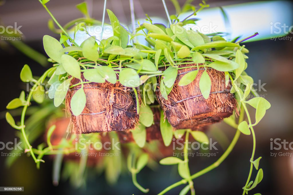 Cute green creeper plant (Dischidia Nummularia Variegata) is crop in coconut husk basket and hanging for garden decoration. stock photo