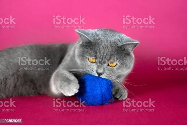 Cute grey british cat playing with a blue wool ball a fat british cat picture id1203529057?b=1&k=6&m=1203529057&s=612x612&h=ihmznnnlpshzz1arjao lssfxlv7njvl9ltdbfopt3c=