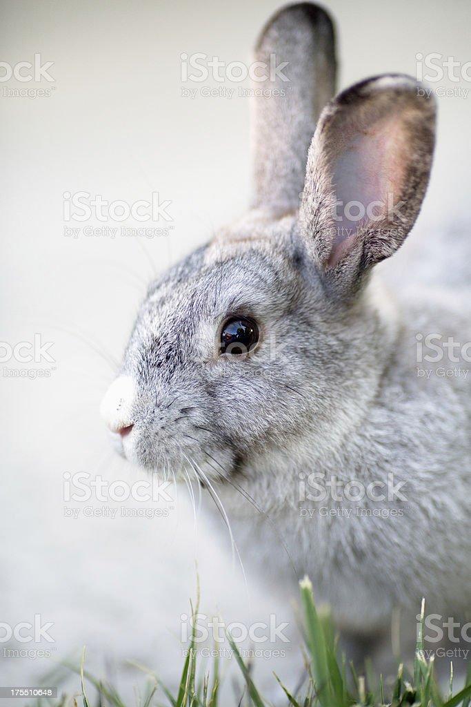 Cute grey bunny on alert royalty-free stock photo