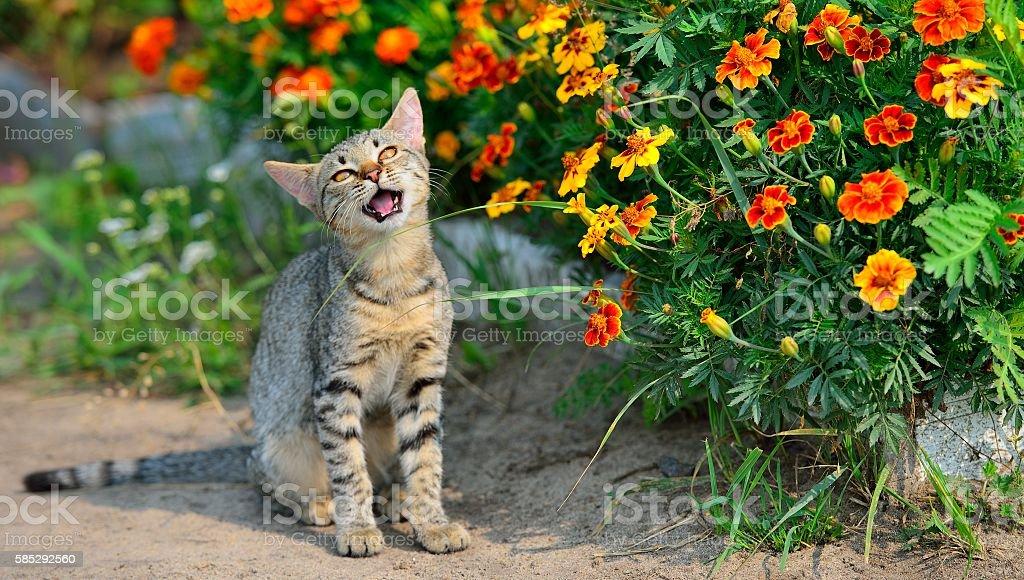 Cтоковое фото Cute grey cat eating grass