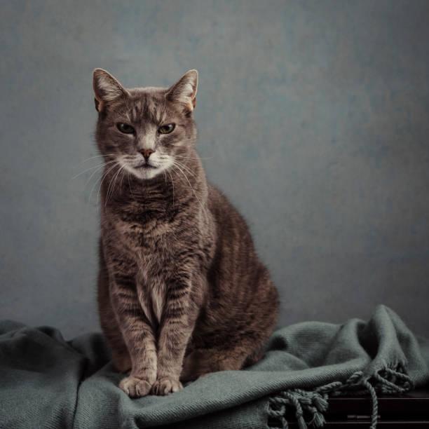 Süße graue Katze im Studio-Porträt – Foto
