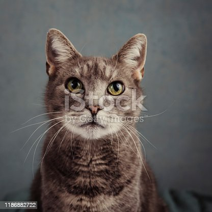 Cute grey cat in studio portrait