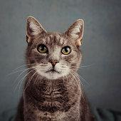 istock Cute grey cat in studio portrait 1186882722