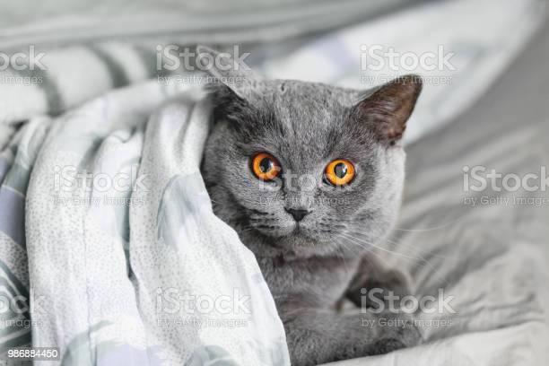 Cute grey cat lying in bed under a blanket fluffy pet comfortably to picture id986884450?b=1&k=6&m=986884450&s=612x612&h=1g2o7r8ed8qrc6 tbe1r6aotxvbihv9aet 7jpfmgsq=